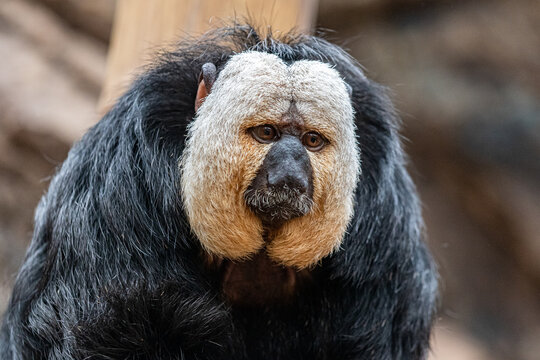 Male Saki Monkey at Furuvik Zoo