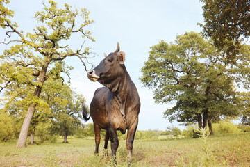 Wall Mural - Brahman crossbred heifer on Texas farm close up during summer, beef cattle.