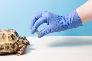 land Central Asian tortoise with rickets on a table in the office of a herpologist veterinarian, a gloved hand holds a tablet for treating turtles, vitamins for turtles Wall mural