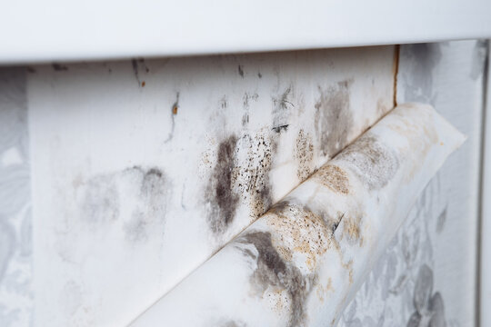 Black mold buildup in the corner of an old house. development of mildew under the Wallpaper.