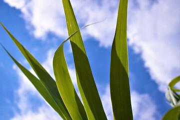 Green reed leaves looking skyward with clouds Fotobehang