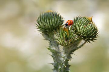 Marienkäfer auf Eselsdistel - Coccinella septempunctata - Siebenpunkt