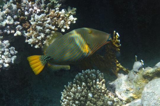 Orange-lined triggerfish (Balistapus undulatus) in Red Sea