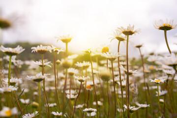 Printed kitchen splashbacks Floral Field of daisies in sunlight, wild flowers in summer