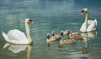 Foto op Canvas Zwaan Swan family on the lake. Little swans with their mother and father