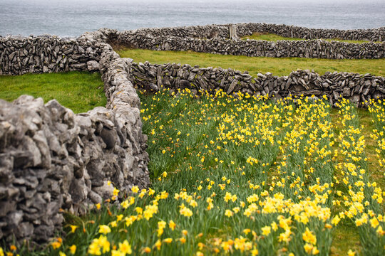 Lines of cobblestone fences sectioning green meadows with flowers on high coastal cliff in Ireland