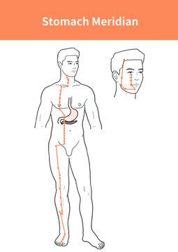 stomach meridian illustration