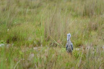 Shoebill in a wetland