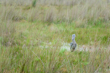Shoe-bill stork in its natural habitat