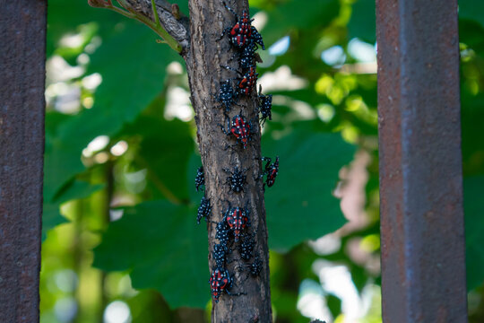 A Group of Spotted Lanternfly Nymphs Resting on a Small Tree