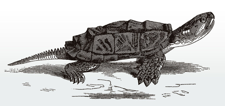 Common snapping turtle, chelydra serpentina in side view after an antique illustration from the 19th century