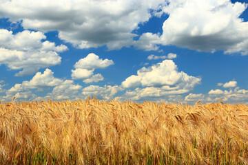 Gersrtenfeld unter einem blauen Himmel mit weissen Wolken