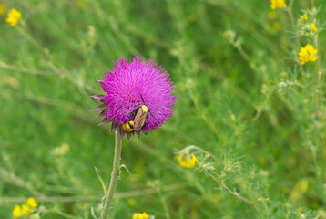 Big lonely  wasp sucking nectar on a thistle flower in summer Ukrainian meadow.