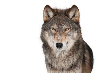 Photo sur Plexiglas Loup wolf isolated on white background