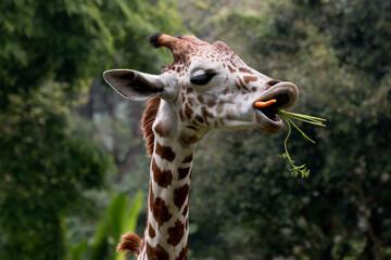 Giraffe Eating Carrots