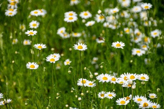 Botanical collection of medicinal plants, Chamaemelum nobile or Roman chamomile, English or garden chamomile flowers
