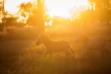 Photo sur Plexiglas Zebra African zebras at beautiful landscape during sunrise safari in the Serengeti National Park. Tanzania. Wild nature of Africa..