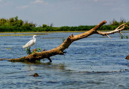 Little egret on the river Danube
