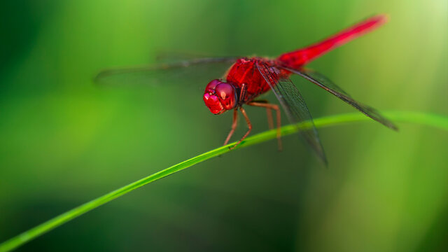 red dragonfly, wings wide open, landing on a blade of grass. macro photography of this delicate and fragile Odonata insect, in the tropical island of Koh Phayam, Thailand