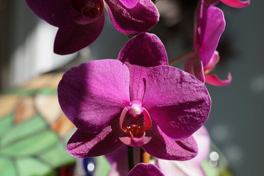 Summer Orchid in full bloom passionate violate coloring