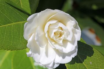 Printed roller blinds Floral White Camellia flower in Spring