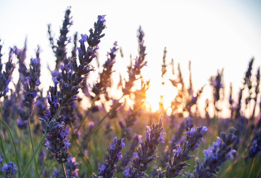 Detail of lavender with the sunset