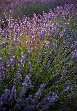 Lavender blowing on a field