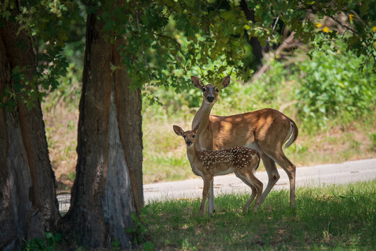White tailed deer, fawn and mother, under a shady tree in the woods on a hot summer day in Texas