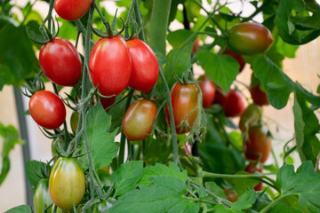 Group of oblong tomatoes ripen in the bushes in a greenhouse
