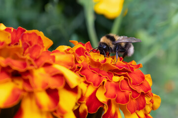 Bumblebee collects nectar from a marigold flower on a flowerbed in a summer garden