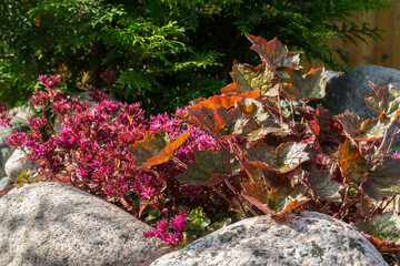 Plants in a small rockery in the summer garden. Blooming pink stonecrop, sedum