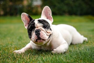 French Bulldog - Portrait 4
