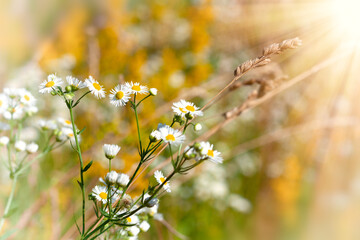 White chamomile flowers on a summer sunny day.  Wild flowers in the meadow with sun beams..