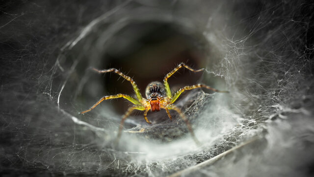 yellow spider protecting its web, macro photography of this fragile and gracious arachnid, but dreadful predator for the ones trapped, nature scene, Koh Phayam tropical island, Thailand