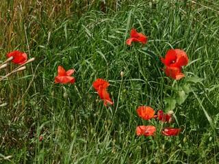 Mohnblumen auf dem Feld