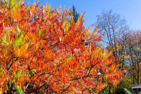 Autumn red and yellow colors of the Rhus typhina, Staghorn sumac, Anacardiaceae, leaves of sumac on blue sky.