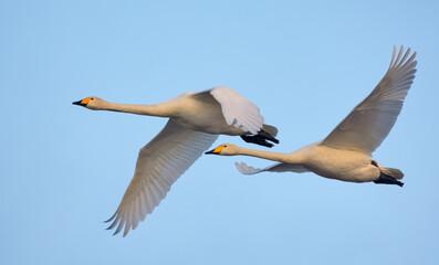 Poster Cygne Pair of adult Whooper swans (cygnus cygnus) in close flight over blue sky