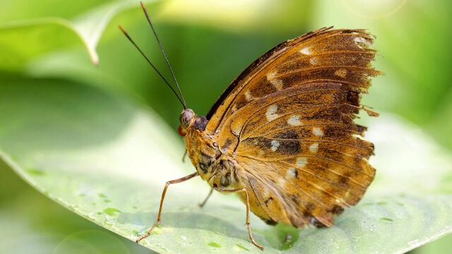 brown damaged butterfly resting on a leaf, macro photography of this delicate Lepidoptera in the Thai tropical jungle. nature scene
