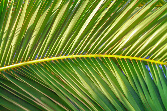 Green large palm leaves in the sun. Warm summer, vacation, tropic