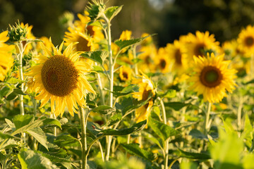 A group of beautiful yellow flowering sunflowers on a field.