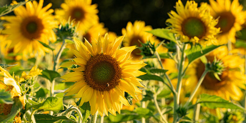 Beautiful yellow flowering sunflower in front of blue sky background.