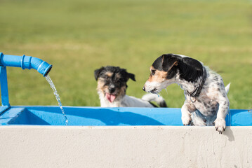 Two cute little thirsty Jack Russell Terrier dogs drinking cold water from a well on a hot summer day