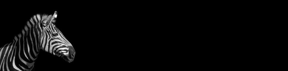 Detail portrait zebra on the black background