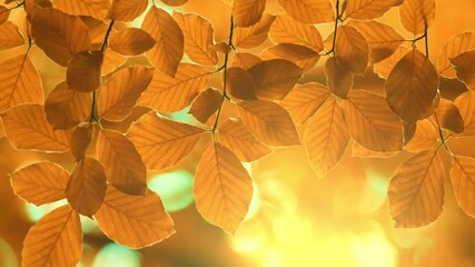 Wall Mural - Autumn yellow orange leaves background. Autumn foliage sways in the wind in the rays of the setting sun. Autumn vegetal background. UHD, 4K