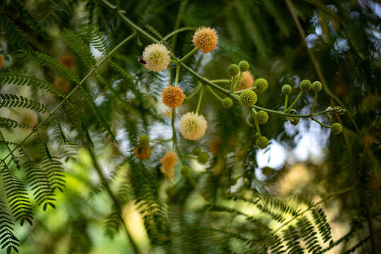 Acacia farnesiana blooming in Turkish forest