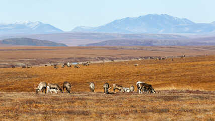 A herd of reindeer in the tundra. Autumn arctic landscape. Valley among mountains and hills. Northern expanses of the polar region. Reindeer herding in Chukotka in Siberia in the far east of Russia.