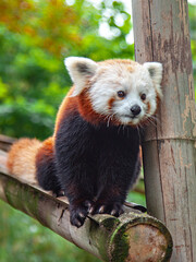 The red panda, leaning against a bamboo bar, looks into the distance.
