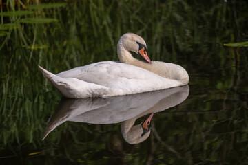 Gespiegelter Schwan auf spiegelglattem See