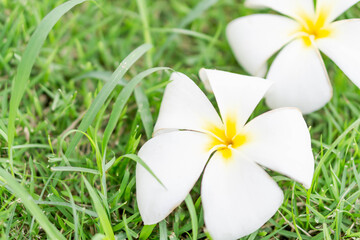 Closeup Plumeria white color on green grass  background for spa relax