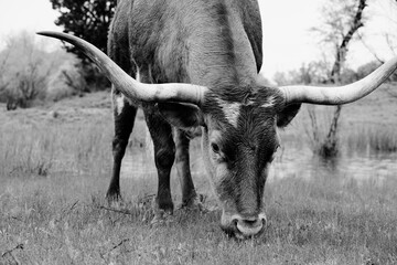 Wall Mural - Texas longhorn cow grazing on grass after rain close up in black and white.